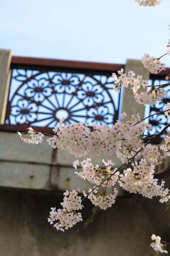 春 Tokyo サクラ 桜 満開 Canonphotography Open Free Open Edit Canon Open Edit For Everyone OpenEdit Flower 春ですね Flowers 結局雨でした散りまくりー!