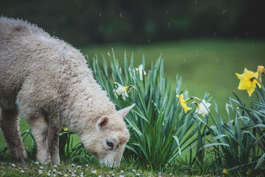 Sheep and Daffodils. Sheep Lamb Daffodils Flowers Animal Farm Farming Agriculture Agriculture Photography Wales Cymru Animal Themes One Animal Grass Rain Countryside Nature Water Animals In The Wild Mammal Animal Wildlife No People Outdoors Day