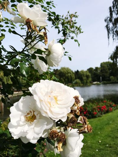 Roses in Autumn... White Flower Rose - Flower Beautiful Nature Beauty In Nature Ways Of Seeing Park Roses🌹 Roses Plant Flower Flowering Plant Freshness Fragility Growth Beauty In Nature Tree Vulnerability  White Color Close-up Petal Flower Head Nature Sky Focus On Foreground No People Day Pollen Inflorescence