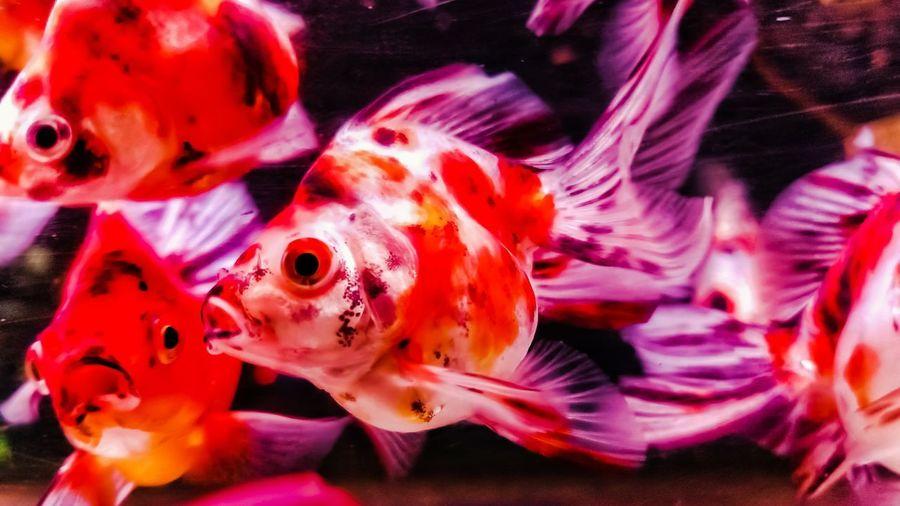 gold fish Gold