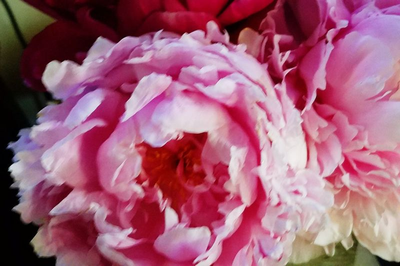 Peonies, signs of spring, finally! Garden Photography Gardening Indian Orchard, MA. Beauty In Nature Soothing To The Soul Nature Close-up Fragrant Flower Head Flower Peony  Red Pink Color Petal Close-up Plant Life In Bloom Magnification Blooming