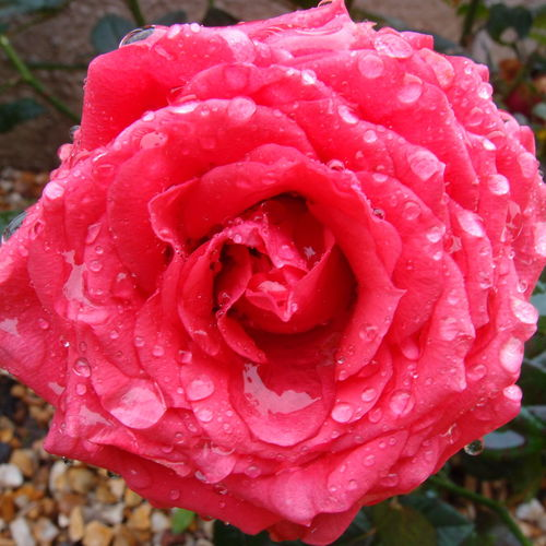Typical of a british summers day, Raining !! Petal Fragility Flower Flower Head Freshness Wet Drop Water Close-up Beauty In Nature Rose - Flower Season  Growth Softness Single Flower Nature Dew Red Weather Water Drop