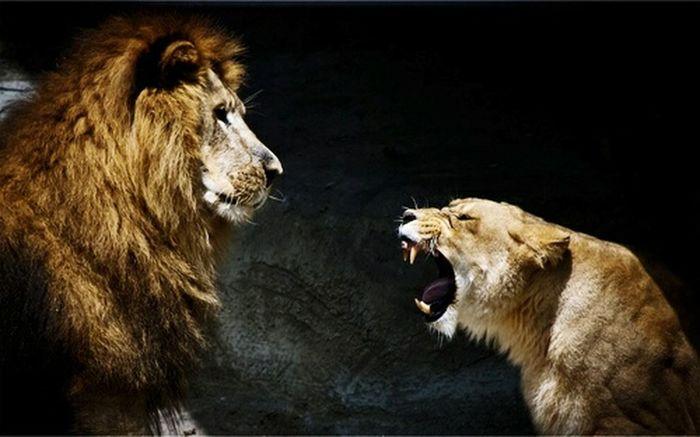 EyeEm Animal Lover Lions Cats Animals Bigcats Natural Beauty Eyeemnaturelover