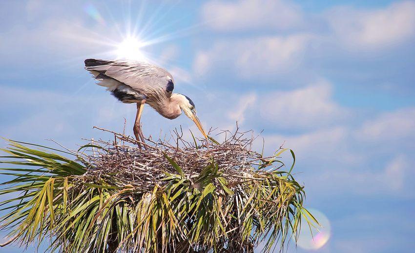 A Blue Heron in
