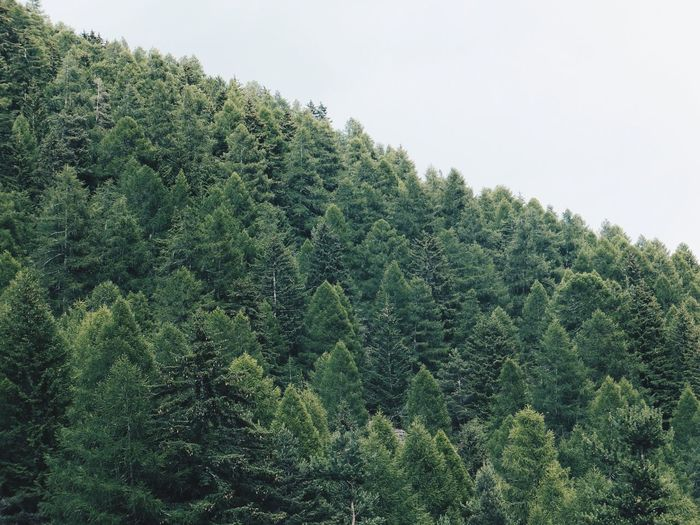 Tree Green Color Nature Beauty In Nature Forest Tranquility Outdoors Alpine Travel Hiking Alps Pine Tree Pine Woodland Breathing Space