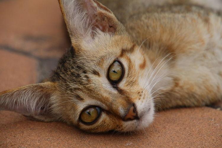 猫 ねころび 若い猫 子猫 Cat Cat Lovers Cat Eyes Thailand Thailandtravel Thailand Photos Thailand Animals Close-up
