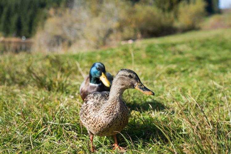 Mallard ducks on field