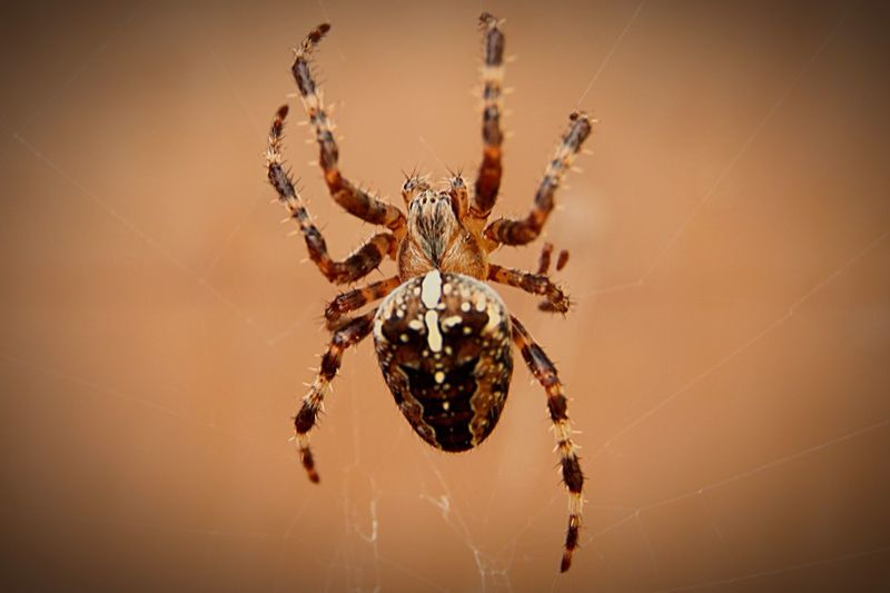 Garden Spider Spider Beautiful Nature Beauty Of Nature Wildlife Photography Naturelovers Beauty In Nature Nature_collection Insect Wildlife Insect Photography Bugs And Insects Bugs Bugs Life Bugsofeyeem