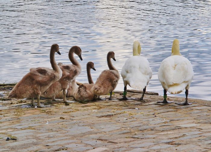 Animal Animal Family Beauty In Nature Cygnets Day Goose Lakeshore Loch  Medium Group Of Animals Nature No People Outdoors Rippled Swan Swan Family Swans Tranquility Water