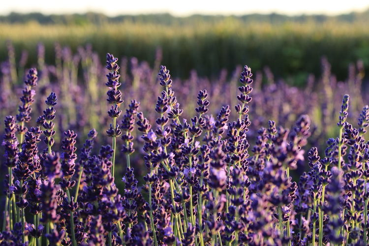 Backgrounds Close-up Field Flower Flower Head Focus On Foreground Freshness Growth Lavendel Lavendelblüte Lavender Lavender Colored Nature Plant Purple
