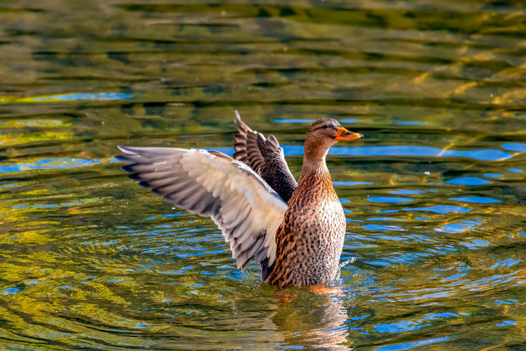 Animal Themes Bird Animal Wildlife Animals In The Wild Vertebrate Animal One Animal Water Lake Flying Spread Wings Waterfront Nature No People Water Bird Day Duck Poultry Beauty In Nature Flapping