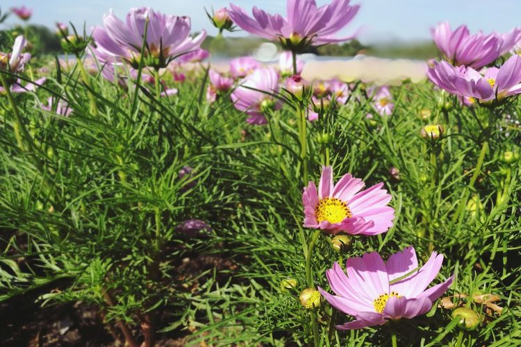 Flower Purple Flower Head Petal Beauty In Nature Pink Color Nature Fragility Growth Freshness Plant Field No People Day Outdoors Close-up Grass