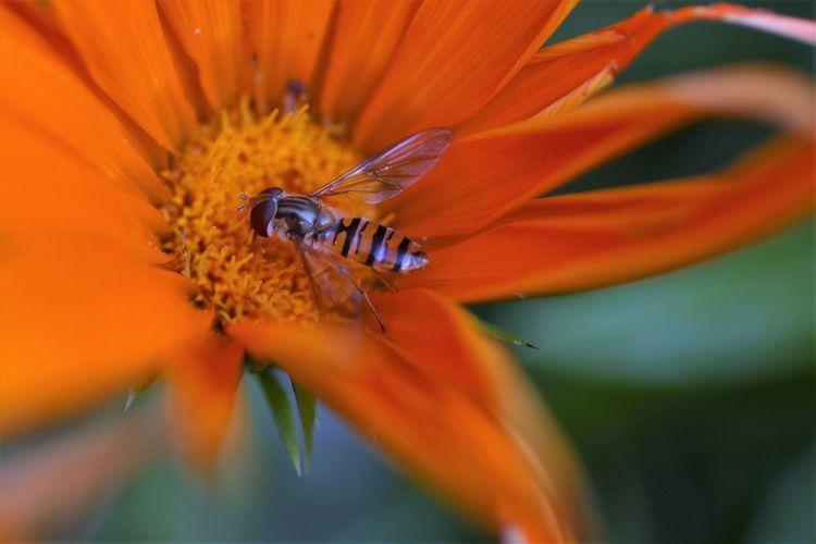 Close-up of honey bee on orange flower