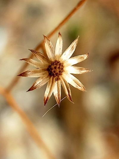 Flower Head Flower Petal Close-up Plant Sky Dandelion Seed Wilted Plant Uncultivated Dried Dried Plant