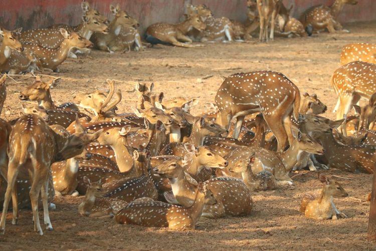 The Mix Up Maximum Closeness Chance Encounters Deers Deer Family Deer Moments Deer Park Nandankanan Nandankanon at nandan kanan, bhubaneswar Always Be Cozy My Year My View Exploring Style Uniqueness EyeEm Diversity