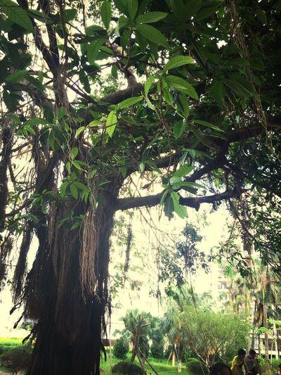 楼下的大榕树
