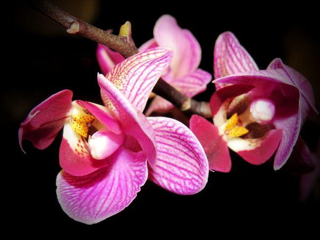 La naturaleza es grande en las grandes cosas, pero es grandísima en las más pequeñas. Jacques Henri de Saint Pierre Orquideas Orquideas❤ Flower Petal Flower Head Fragility Pink Color Orchid Freshness Beauty In Nature Nature Plant