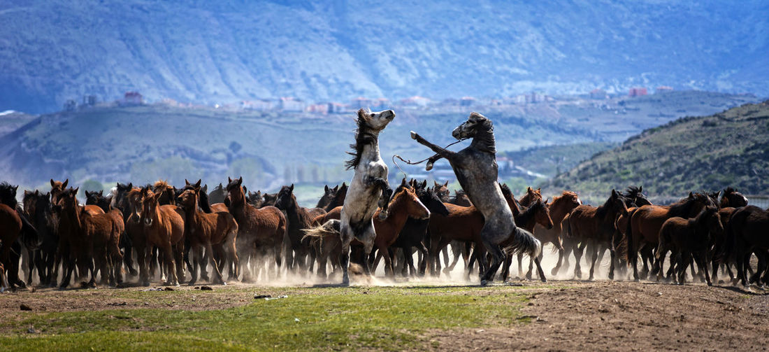 Yılkı Horses Animals In The Wild Color Horses Kayseri, Turkey Nature Wildlife Wildlife & Nature Wildlife Photography Yılkı Atları Yılkı Horse The Great Outdoors - 2017 EyeEm Awards The Photojournalist - 2017 EyeEm Awards