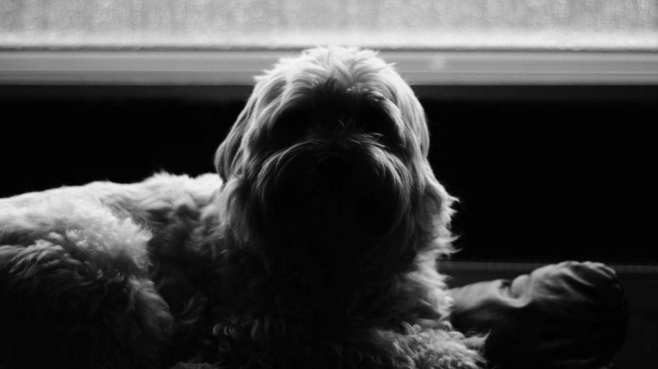 Blackandwhite Dog Pets Domestic Animals One Animal Animal Themes Indoors  Mammal Animal Hair Close-up No People Day
