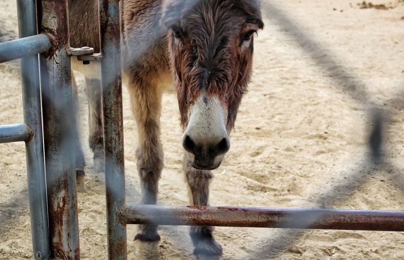 Hello Donkey Close-up Curious Chainlink Fence Nature Outdoors Ranchero Ranchhouse One Animal