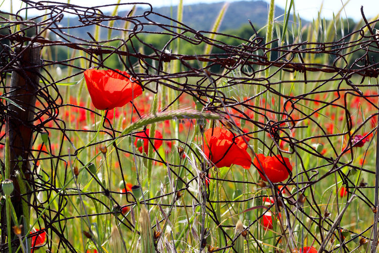 Barbed Wire Beauty In Nature Close-up Contrast Day Delicate Delicate Beauty Focus On Foreground Fragile Fragility Growth Nature No People Outdoors Plant Poppy Poppy Flowers Red Sky Tranquility