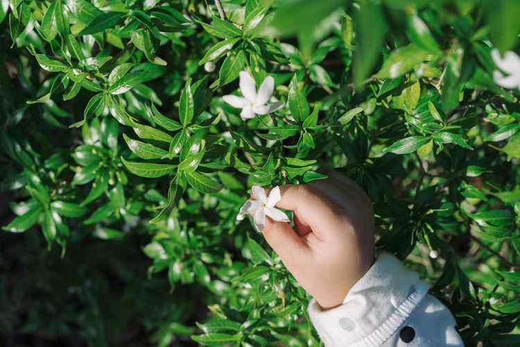 cute children hand take white flower Human Hand Hand One Person Human Body Part Real People Plant Part Leaf Plant Green Color Holding Lifestyles Growth Day Nature Focus On Foreground Close-up Personal Perspective Finger Body Part Outdoors Human Limb