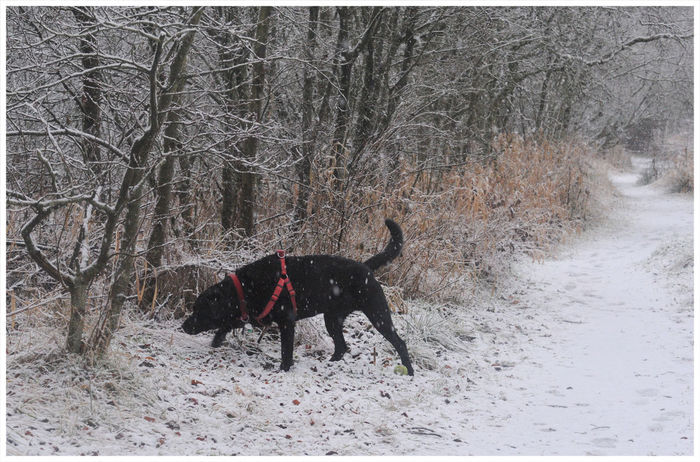 got to sniff... Sniffing Around Black Labrador Domino Inquisitiveness Winter Dog One Animal Snow Pets Animal Themes Cold Temperature Domestic Animals Bare Tree Nature Mammal Tree Outdoors Day