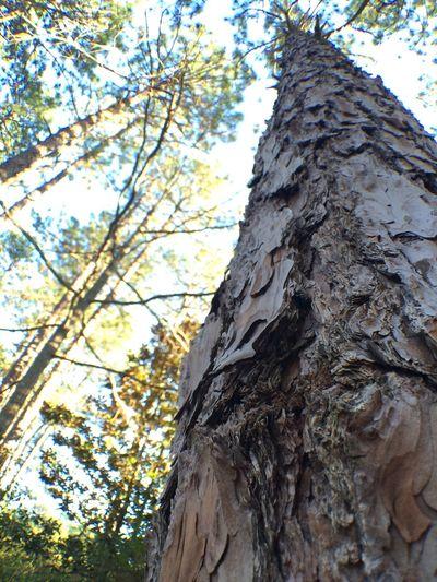 Pinetrees Bark