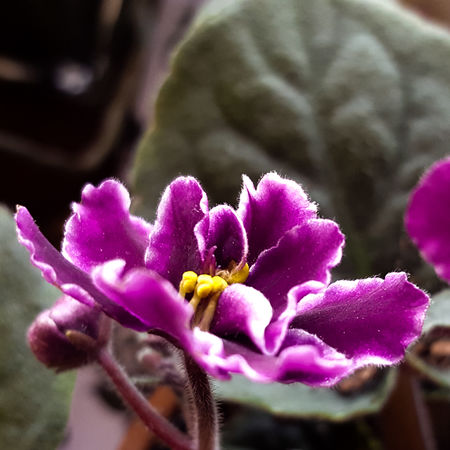 African violet Flower Petal Pink Color Plant Growth Freshness Fragility Nature Flower Head Beauty In Nature Close-up Purple No People Day Outdoors EyeEm Best Shots Pretty Wild Macro_collection Nature Photography Eyemphotography Nature Beauty In Nature Nature_collection EyeEm Nature Lover