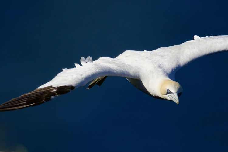 Close-up of gannet flying in against clear blue sky
