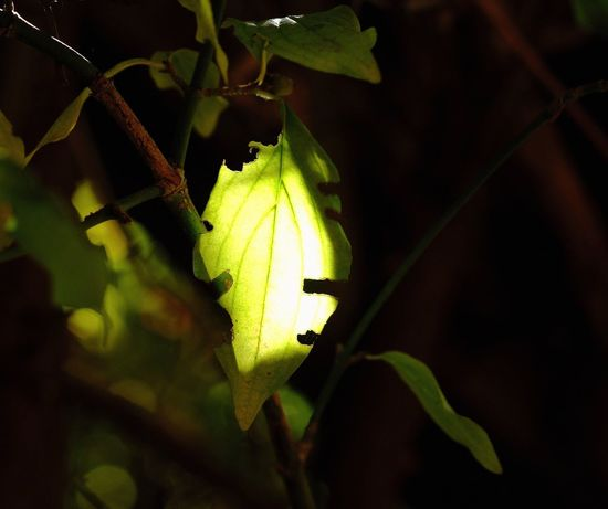 Sunlight Beauty In Nature Focus On Foreground Freshness Green Color Inmygarden Leaf Plant Part