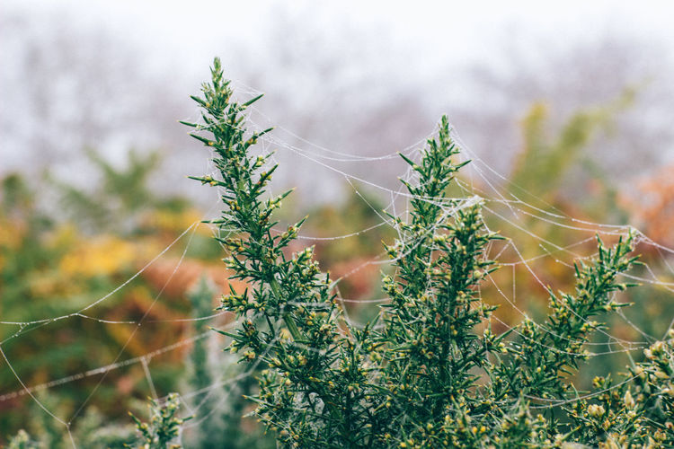 Gorse Morning Beauty In Nature Close-up Cobweb Coniferous Tree Day Field Focus On Foreground Fragility Freshness Green Color Growth Land Leaf Nature No People Outdoors Plant Plant Part Selective Focus Tranquility Tree