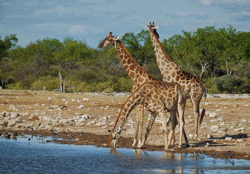 Animal Markings Beauty In Nature Cloud Cloud - Sky Day Giraffe Giraffes Giraffes! Log Mammal Natural Pattern Nature No People Non Urban Scene Non-urban Scene Outdoors Plant Sky Tranquil Scene Tranquility Tree