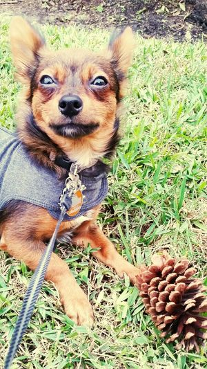 Tiki and his pinecone Chiweenie Green Grass Cute Puppy Pinecone Applehead Black And Red