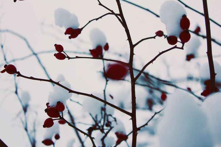 cover with snow EyeEm Nature Lover EyeEm Selects Macro Photography Nature_collection Macro Nature Photography Nature Tree Snow Branch Winter Cold Temperature Fruit Red Twig Close-up Sky Rose Hip