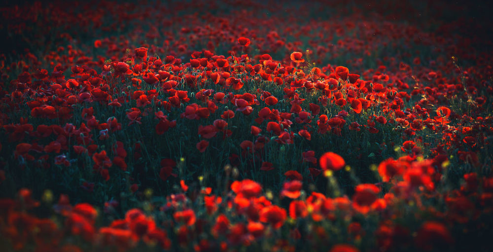 poppy field Light Slovakia Beauty In Nature Bokeh Close-up Europe Field Flora Flower Flowering Plant Flowers Freshness Growth Land Mood Nature No People Outdoors Pentax Plant Poppy Red Selective Focus