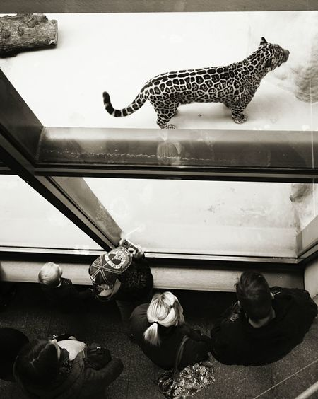 Raubtier FütterungZoo Zoo Animals  Big Cat Leopard Walking Around The City  Urbanphotography Light And Shadow Perspective People Photography Black And White Photography