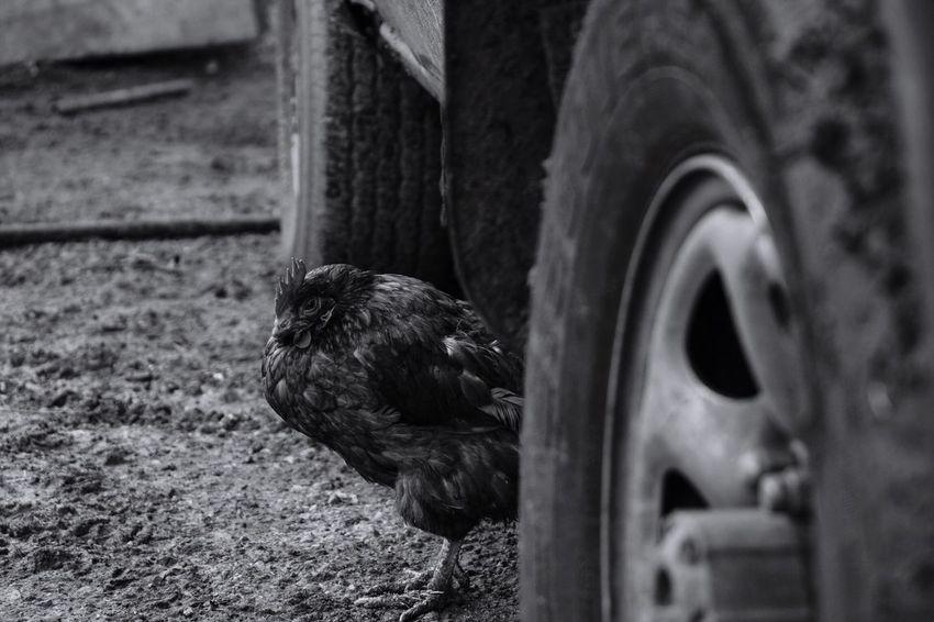 Chiken Farm Bokeh Lebanon Taking Photos Blackandwhite Show Case March