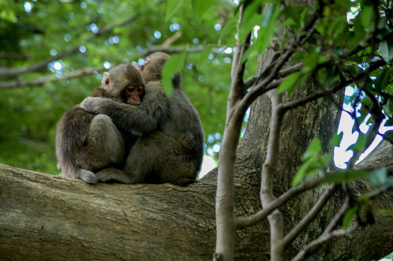 Comfort Greif Sadness Family Hug Love Compassion Tree Branch Sitting Tree Trunk Close-up Primate Japanese Macaque Monkey