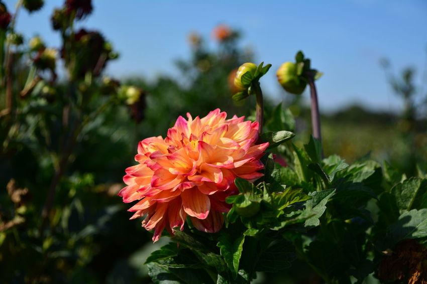 Dalian Daliaflower Nature Photography EyeEm Nature Lover Nature Flower Head Flower Pink Color Red Summer Close-up Plant Flowering Plant