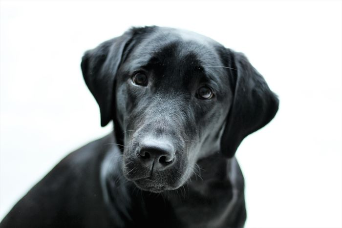 Family Labrador LabradorLove LabradorRetriever Love See What I See Adorable Animal Themes Best Friends Close-up Day Dog Domestic Animals Hond Huisdier Indoors  Labrador Retriever Labradorchocolate Labradors Loveable Pet Man's Best Friend No People One Animal Pets Portrait