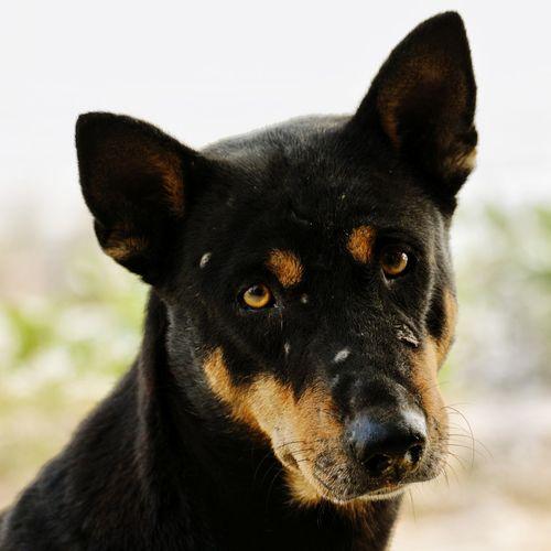 Indian Pariah Dog Bangladesh Black Black Dog Nikon One Animal Portrait Eye Animal Black Color Looking At Camera Ear Mammal Close-up Outdoors Pets No People Day