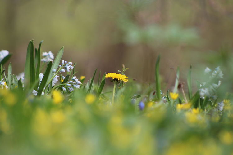 Flower Yellow Beauty In Nature Plant Nature Uncultivated Wildflower Grass No People Outdoors Day Spring Meadow Buttercup Picsartrefugees