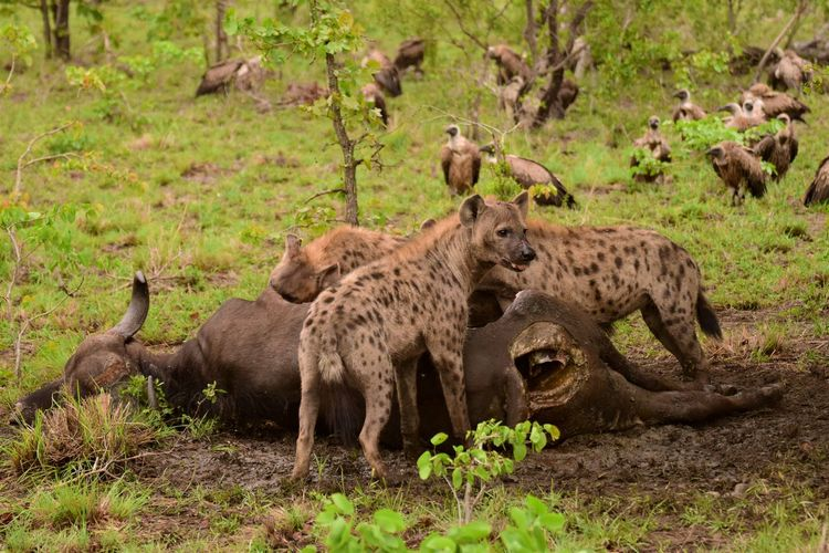 Animals Eating Prey At Forest