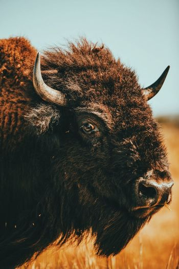 Close-up american bison against sky