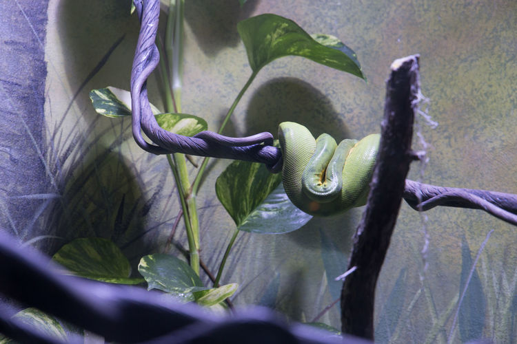 Sometimes, it's okay to withdraw from a crowd. Especially one that's looking solely at you. Zoology Wildlife Exhibit  Reptiles Brookfield Zoo Brookfield, IL Zoo Snake Plant Leaf Green Purple Lighting