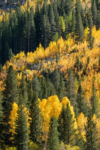 Fall in the Eastern Sierra. Bishop, California Plant Yellow Growth Beauty In Nature Tree No People Nature Flower Autumn Tranquil Scene Sunlight Backgrounds Outdoors Tranquility Day Scenics - Nature Full Frame Land Flowering Plant Forest
