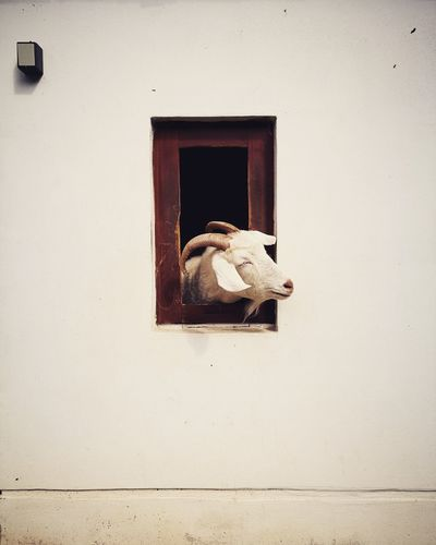 Animal Themes Window Day No People Animal Alone Animal Instincts white wall Goat Life Goat Aries Architecture Indoors  Built Structure Close-up Safetheanimals