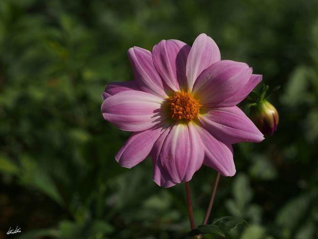 筆で色をつけたような E-PL3 Flower Dahlia No Edit/no Filter