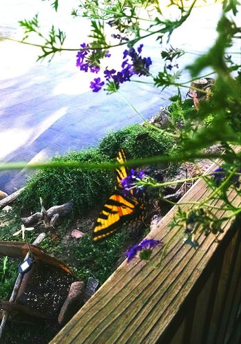 Monarch Butterfly Spring